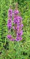 Lythrum salicaria bgiu