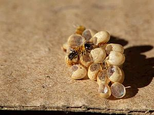 Moon Moth eggs hatching