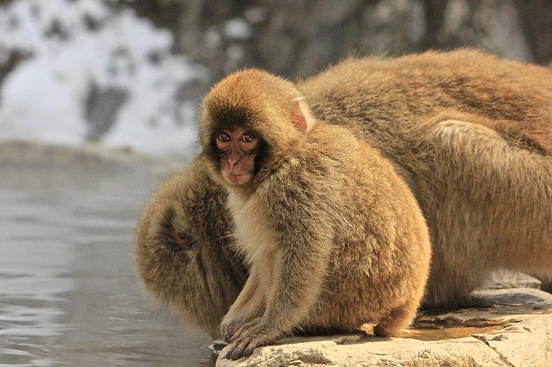 File:Macaca Fuscata, also known as Japanese Snow Monkeys, in Jigokudani, Yudanaka, Japan 13.jpg