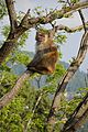 Macaca mulatta - Shimla 2014-05-07 1382.JPG