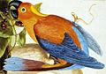 Macaw in Jamaica.jpg