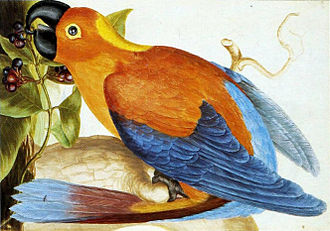 Cuban macaw - Depiction of a Cuban macaw in Jamaica, or the hypothetical Jamaican red macaw, by L. J. Robins, 1765