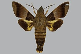 Macroglossum meeki BMNHE813827 male up.jpg