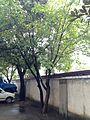 Magnolia denudata near Huangzhou Stadium.jpg