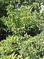 Magnolia liliiflora Leaves.jpg