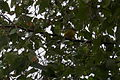 Magnolia warbler (Setophaga magnolia) - Saskatoon.jpg
