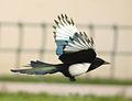 Magpie in Madrid (Spain) 45.jpg