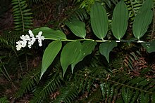 Maianthemum racemosum 0972.JPG