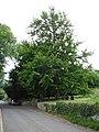 Maidenhair tree, South Cadbury - geograph.org.uk - 195168.jpg