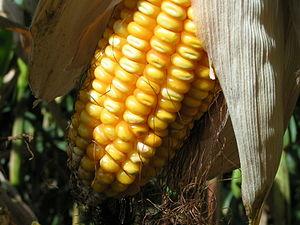 Ghanaian cuisine - Ghanaian-produced sweet corn