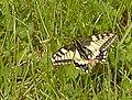 Makaonfjäril Papilio Machaon (14911346918).jpg