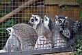 Maki catta (Zoo Amiens).JPG