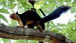 Malabar giant sqirrel.jpg