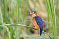 Malachite kingfisher - Queen Elizabeth National Park, Uganda.jpg
