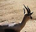 Male Speke's Gazelle.jpg