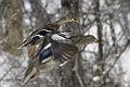 Mallard duck in flight,BDT1365.jpg