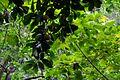 Mammea americana (Abricotier des Antilles 1).jpg