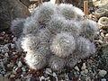 Mammillaria bocasana 02.jpg