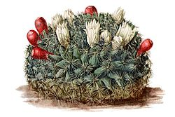Mammillaria heyderi ssp hemisphaerica pm.jpg