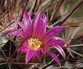 Mammillaria melanocentra (13894547877).jpg