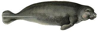 Mammal - Trichechus