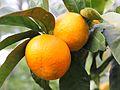 Mandarins in Sochi.JPG