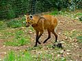 Maned Wolf (Chrysocyon brachyurus) (6978551408).jpg