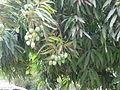 Mangifera indica 0002.jpg