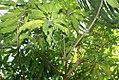 Mangifera indica Julie 0zz.jpg
