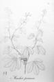 Manihot pruinosa Pohl22.png