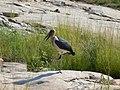 Marabou stork (393947660).jpg