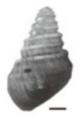 Margarya bicostata shell 2.png