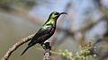 Marico sunbird, Cinnyris mariquensis, at Zaagkuildrift Road near Kgomo Kgomo, Limpopo, South Africa. Male (33586381626).jpg
