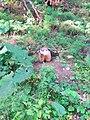 Marmot in Saint Helen's Island 1.jpg
