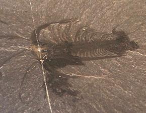 Fossile di Marrella splendens.