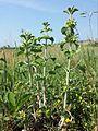 Marrubium vulgare sl2.jpg