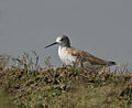 Marsh Sandpiper (Tringa stagnatilis) in Hyderabad W IMG 4444.jpg