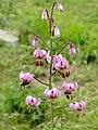Martagon Lily (Lilium martagon) (35668626856).jpg