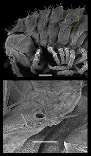 Ozopore opening of a defensive gland present in some arthropods