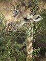 Masai Giraffe Giraffa camelopardalis tippelskirchi in Tanzania 0789 cropped Nevit.jpg