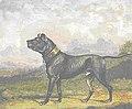 Mastiff Pluto 1830.jpg