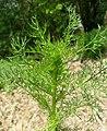 Matricaria discoidea leaf (04).jpg