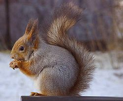 Profile of the Eurasian red squirrel in grey winter coat