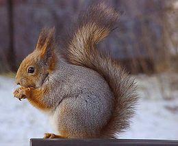 Az európai mókus tipikus testtartása rágcsálás közben