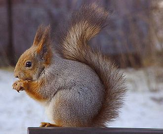 Red squirrel - Profile of the Eurasian red squirrel in grey winter coat