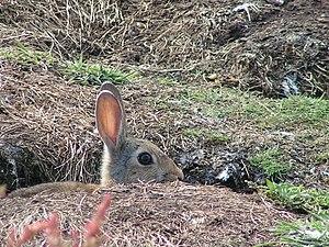 European rabbit - Rabbit at burrow entrance