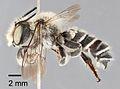 Megachile chomskyi holotype - ZooKeys-283-043-g004.jpeg
