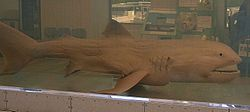 Megamouth shark japan.jpg