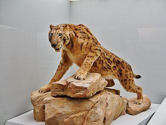 Felidae - Megantereon