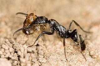 <i>Megaponera</i> Genus of ants